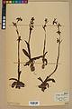 Neuchâtel Herbarium - Ophrys sphegodes - NEU000047886.jpg