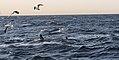 New 7840 white shark on hunt JF.jpg