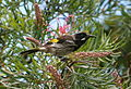 New Holland Honeyeater Kioloa.JPG