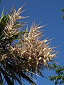 New Zealand Cabbage Tree, Torquay seafront - geograph.org.uk - 822874.jpg