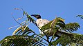 Noisy Friarbird (Philemon corniculatus) (30574475244).jpg