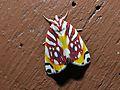 Nolid Moth (Sinna calospila) (6708092385).jpg