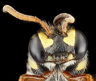 Head - Head of a Nomada-species bee