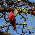 Northern Cardinal (Cardinalis cardinalis), Male (10616880486).jpg