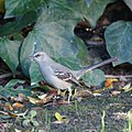 Northern Mockingbird (5308125856).jpg