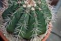 Notocactus buiningii 1zz.jpg