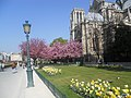 Notre Dame Cathedral Cherry Blossoms (5987322532).jpg