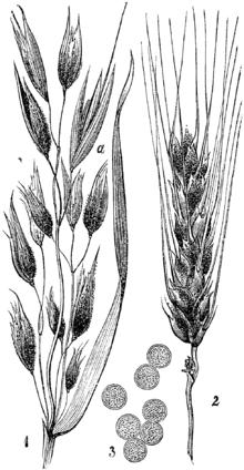 Result Of Covered Smut On Oat 1 And Barley 2 Illustration Published In M Cilenek Nae Kodljive Rastline 1892
