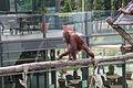 Nyíregyháza Zoo, Pongo pygmaeus pygmaeus-3.jpg