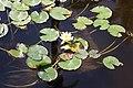 Nymphaeales - Nymphaea alba 1.jpg