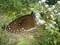 Nymphalidae.JPG