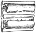 ONF Fig 07 - Struthiopteris spicant fertile pinna.png