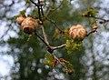 Oak Apples, Watery Lane - geograph.org.uk - 786169.jpg