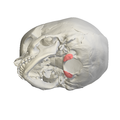 Occipital condyle02.png