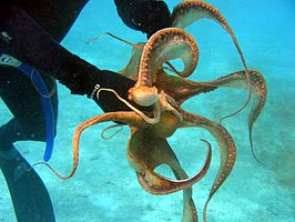Octopus ornatus