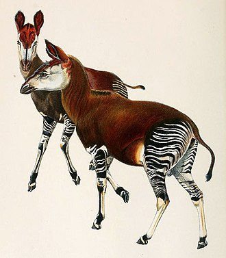 Okapi - Illustration from an original painting by Sir Harry Johnston, based on preserved skins (1901)