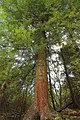 Old-Growth Timber (2) (8630700436).jpg