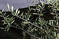 Olea europaea 02 by-dpc.jpg