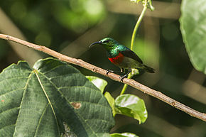 Description de l'image Olive-bellied Sunbird - Kakum NP - Ghana 14 S4E1596.jpg.
