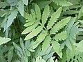 Onoclea sensibilis KS-02.jpg