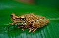 Oophagous Slender-legged Treefrog (Osteocephalus oophagus) (10347155046).jpg
