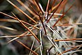 Opuncie hnědoostná Opuntia phaeacantha wiki.jpg