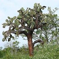 Opuntia echios 1.jpg