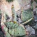 Opuntia gosseliniana 2.jpg