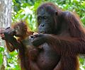 Orang Utan (Pongo pygmaeus) female with baby (8066260027).jpg