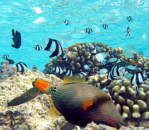 Coral reef fish - In the foreground is an orange-lined triggerfish displaying spines. Triggerfish have mouths that crush shells. Orange-lined triggerfish are particularly aggressive. The black and white fish are three-stripe damselfish and the unstriped fish are blue-green chromis damselfish. If the triggerfish attacks, the damselfish will hide in the nearby pillar coral. If the triggerfish wants to hide, it will squeeze into a coral crevice and lock itself in place with its spines.
