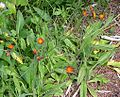 Orange False Dandelion (Agoseris aurantiaca) at Waterton Lakes National Park - Flickr - Jay Sturner.jpg
