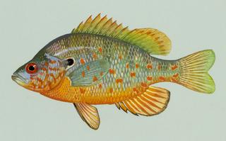 Orangespotted sunfish Species of fish