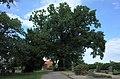 Oranienbaum-Wörlitz,Kakau,Friedhof,Eiche.jpg