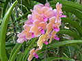 Orchids in Thailand 2013 2761.jpg