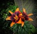 Oriental Lilies (35853295321).jpg