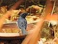 Oriental magpie-robin from Ezhimala DSCN7072.jpg
