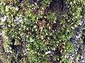 Orthotrichum diaphanum 109636646.jpg
