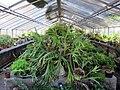 Orto botanico, fi, serretta bromeliacee 02.JPG