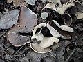 Otidea alutacea (Pers.) Massee 491890.jpg