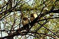 Owl at bharatpur.jpg