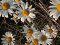 Oxeye Daisy (Leucanthemum vulgare) - Guelph 02.jpg