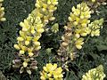 P20130507-0147—Lupinus arboreus—Point Reyes (8742041388).jpg