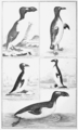 PSM V62 D512 Great auk of thomas pennant 1812.png