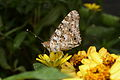 Painted Lady (10001655936).jpg