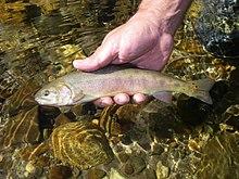 Paiute cutthroat trout (15661670853).jpg
