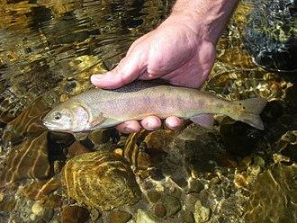 Paiute cutthroat trout - Image: Paiute cutthroat trout (15661670853)