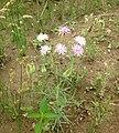 Palafoxia callosa Edwards Plateau Texas.jpg