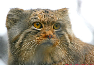 Pallas's cat - The ears are set low and wide apart