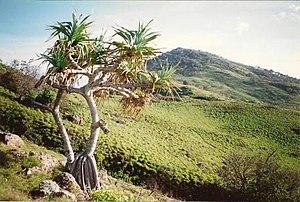 Hat Head National Park - Pandanus tectorius
