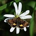 Panemeria tenebrata - Small yellow underwing - Совка ясколковая (27206255688).jpg